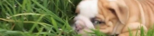 Bulldogsvalpar leker i trädgården