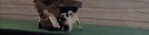 Galenskaparna - VM i lättfotad sällskapshund