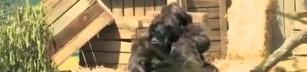 Going Gorillas!