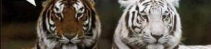Två tigrar pratar